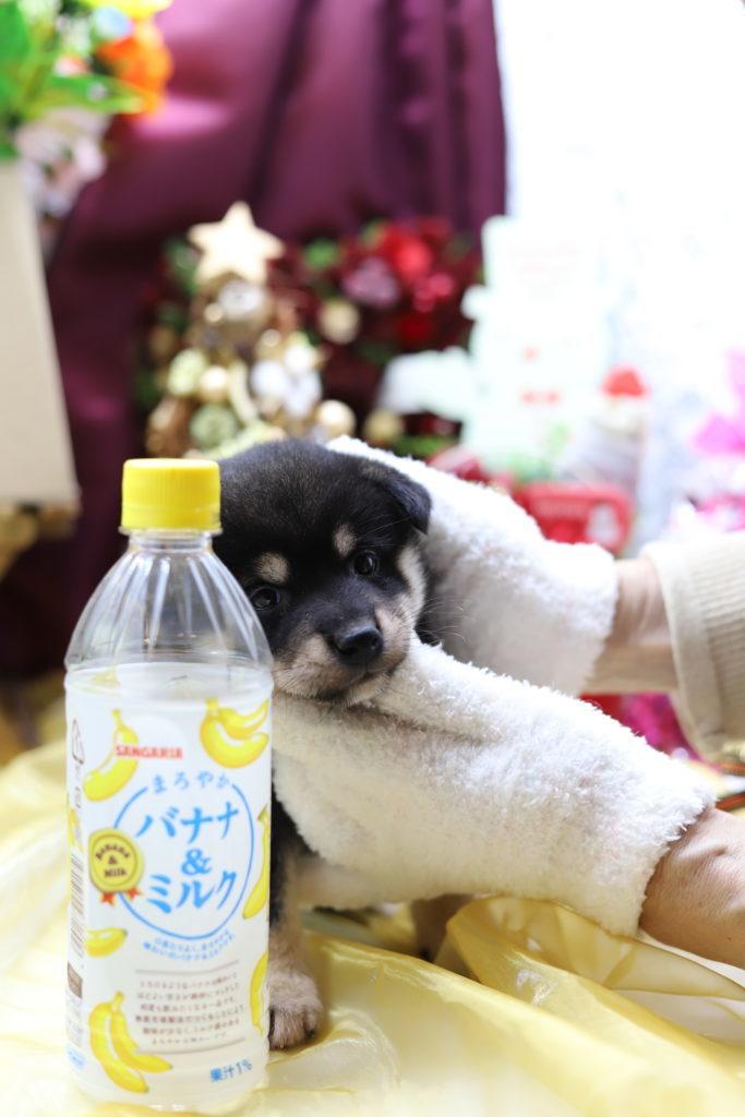 ☆極上スーパープレミアム☆極小黒豆柴☆女の子