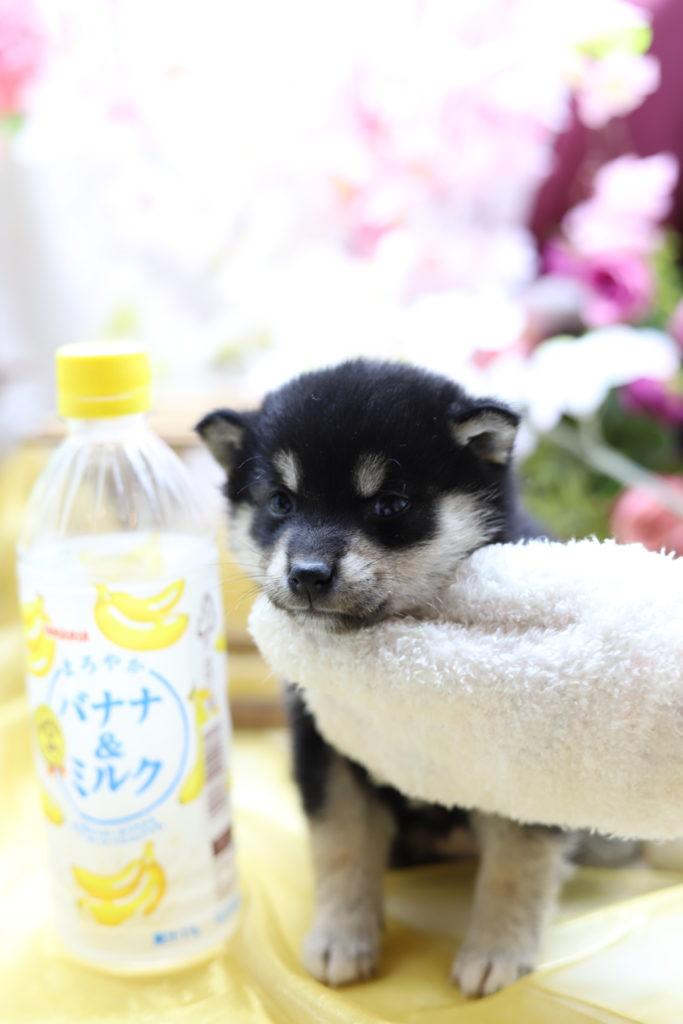 ☆極上☆スーパープレミアム☆極小黒豆柴☆女の子