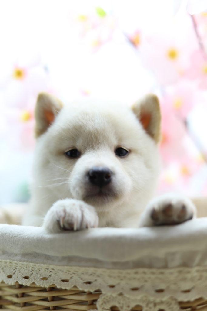 ☆極上☆スーパープレミアム☆極小白豆柴☆女の子
