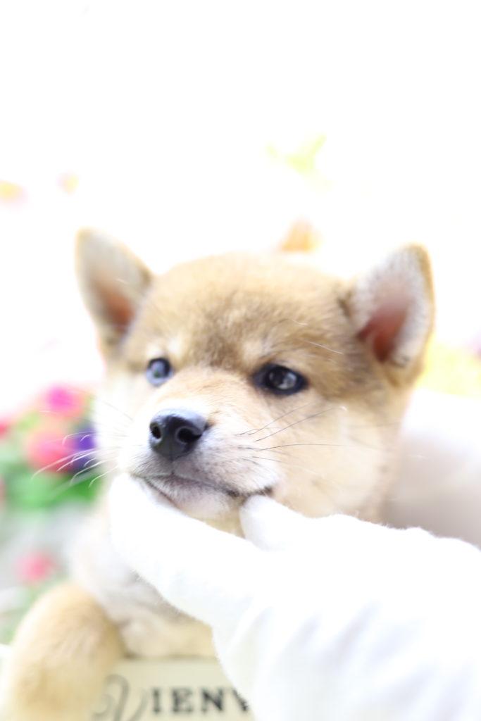 ☆極上☆スーパープレミアム☆極小赤豆柴☆男の子☆