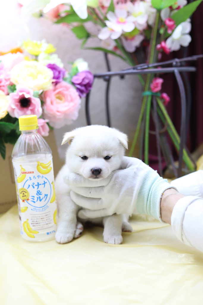 ☆極上☆スーパープレミアム☆極小白豆柴☆女の子☆